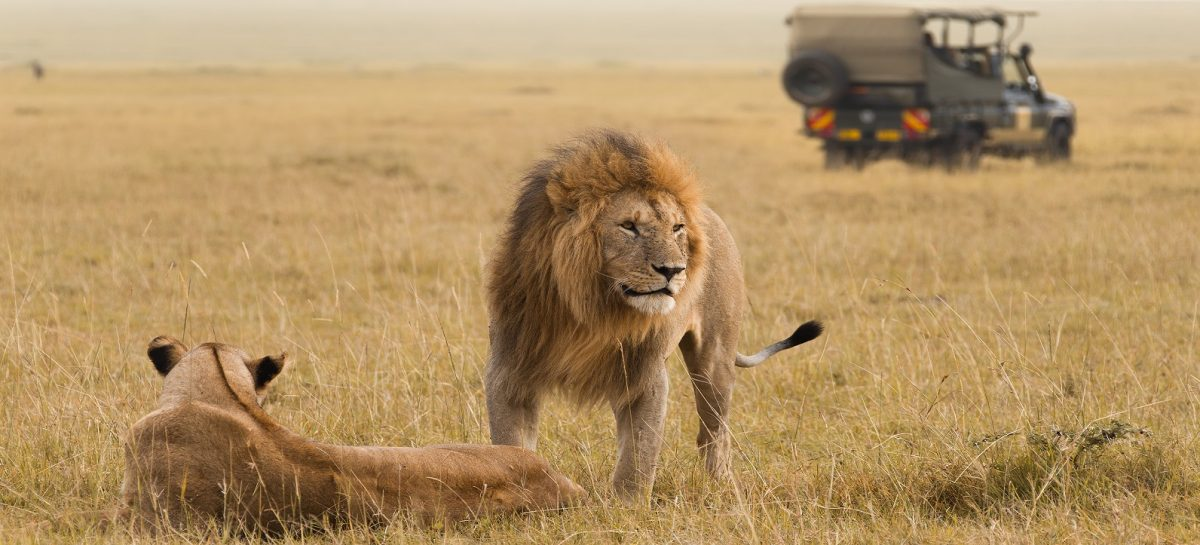Enchanting-Travels-African-lion-couple-and-safari-jeep-in-Kenya-Africa-1