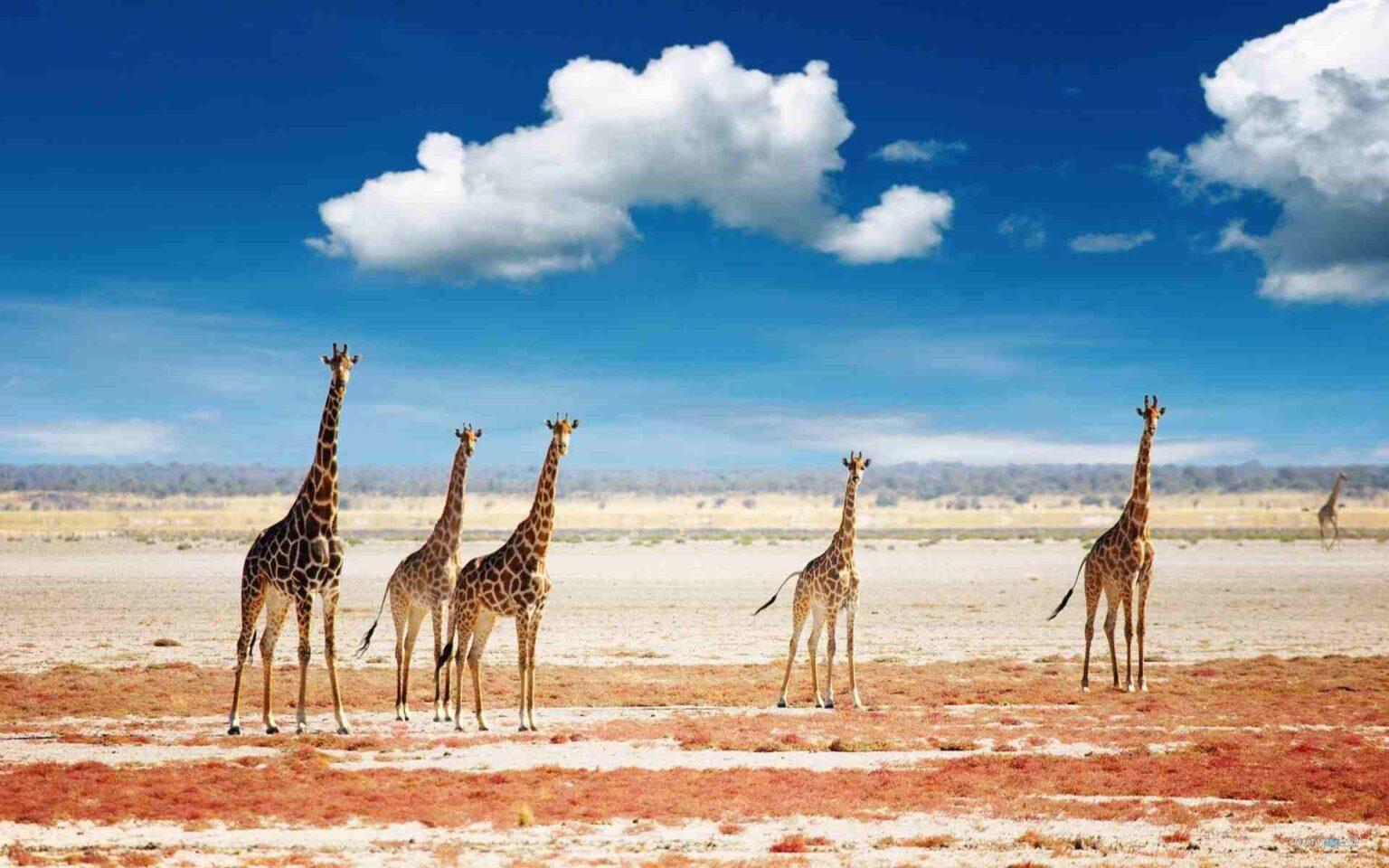 giraffes-in-the-african-grassland