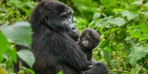 rwanda and congo safaris