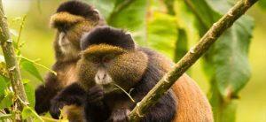 golden monkey trekking safari